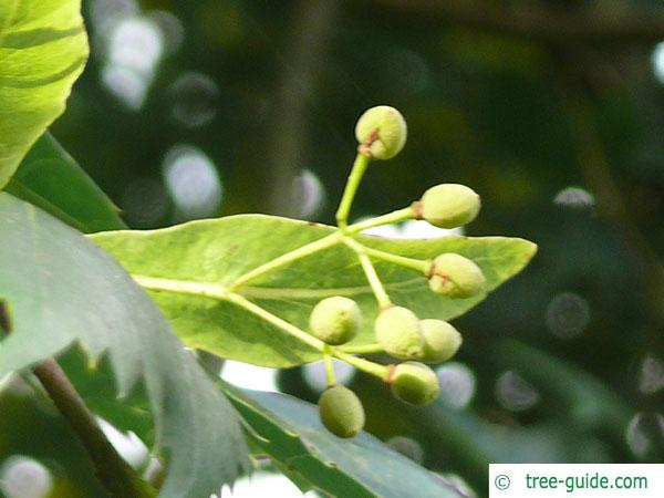 mongolian lime (Tilia mongolica) fruits