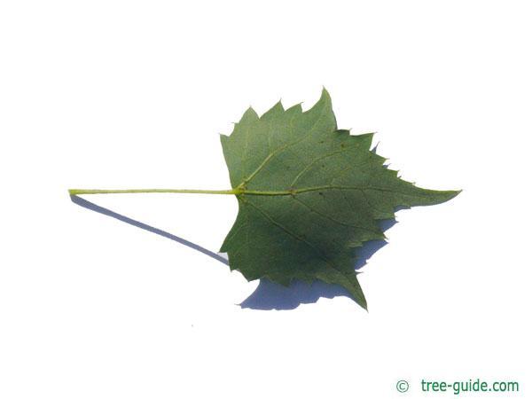 mongolian lime (Tilia mongolica) leaf underside