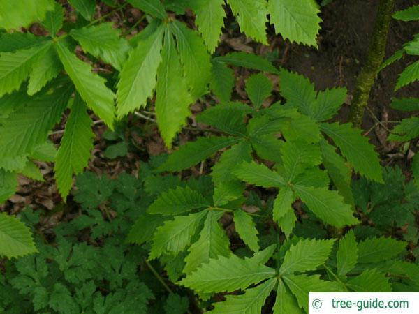 mongolian oak (Quercus mongolica) leaves