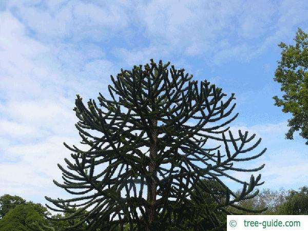 monkey tail tree (Araucaria araucana) tree