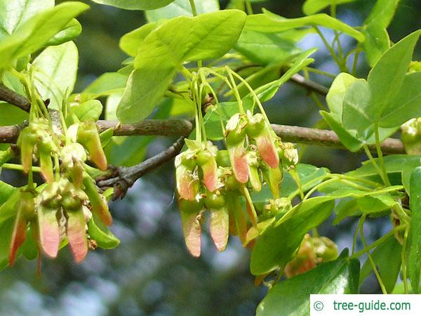 montpellier maple (Acer monspessulanum) fruits
