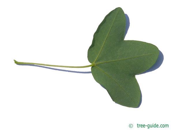 montpellier maple (Acer monspessulanum) leaf underside