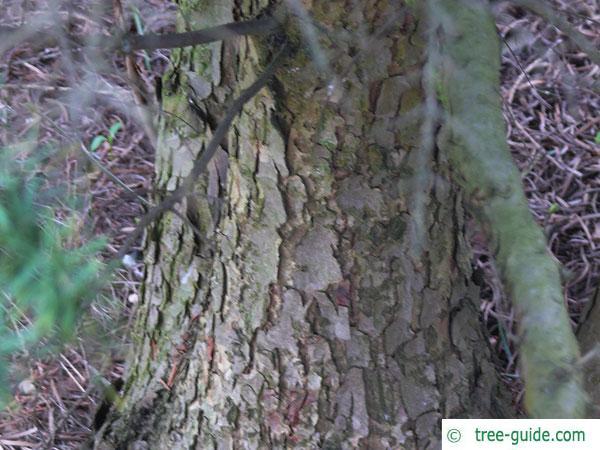 mountain pine (Tsuga mertensiana) trunk / bark