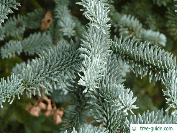 noble fir (Abies procera) branch