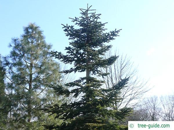 Noble Fir (Abies procera) tree