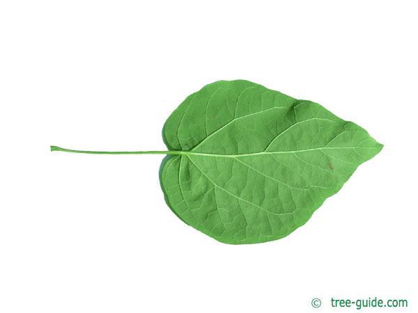 northern catalpa (Catalpa speciosa) leaf underside