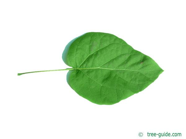 northern catalpa (Catalpa speciosa) leaf