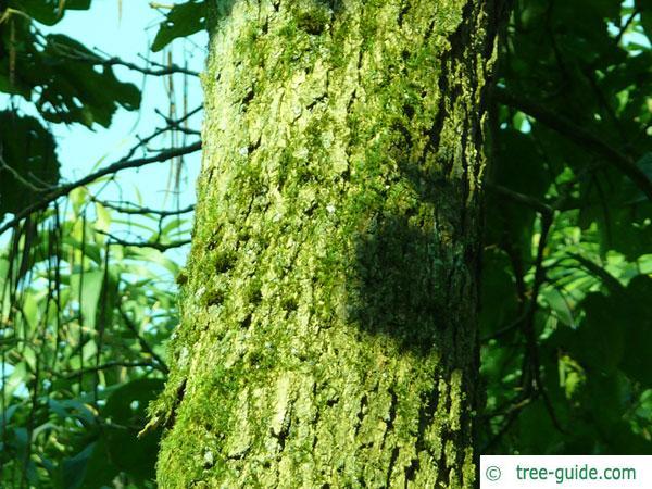 northern catalpa (Catalpa speciosa) trunk / bark