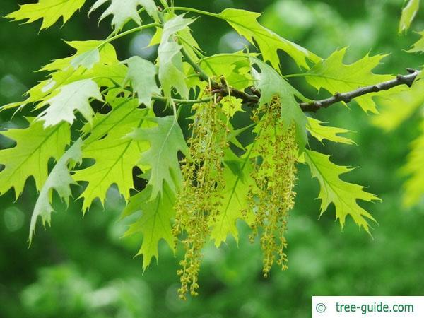 northern red oak (Quercus rubra) flower
