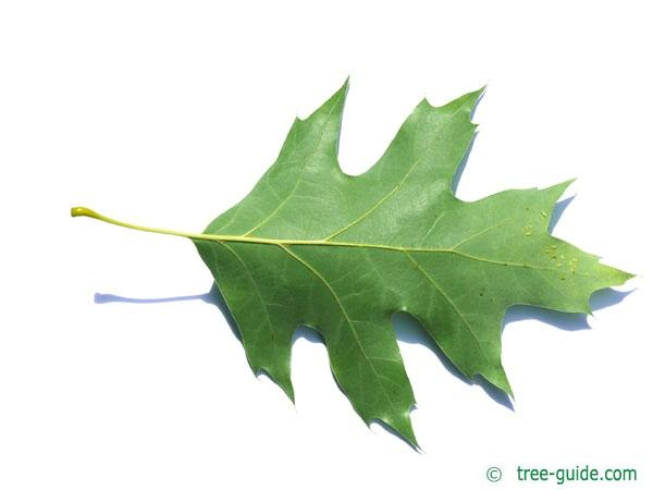 northern red oak (Quercus rubra) leaf underside