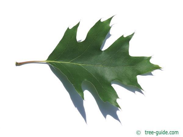 northern red oak (Quercus rubra) leaf