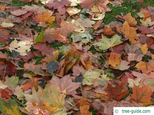 norway maple (Acer platanoides) autumn colors are various