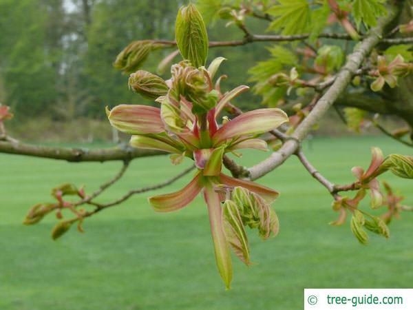 norway maple (Acer platanoides) budding