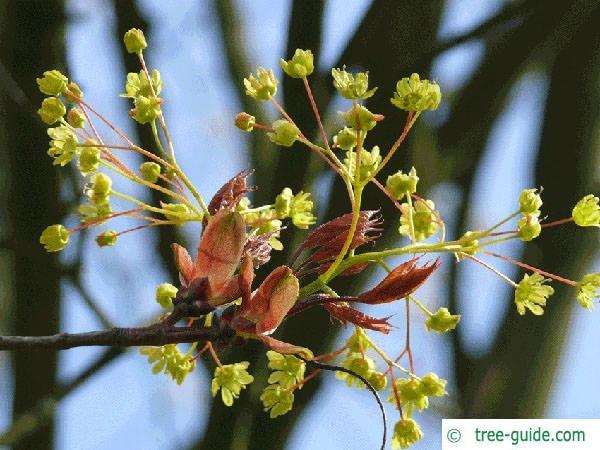 norway maple (Acer platanoides) flower