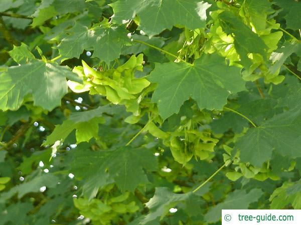 norway maple (Acer platanoides) leaves and fruits