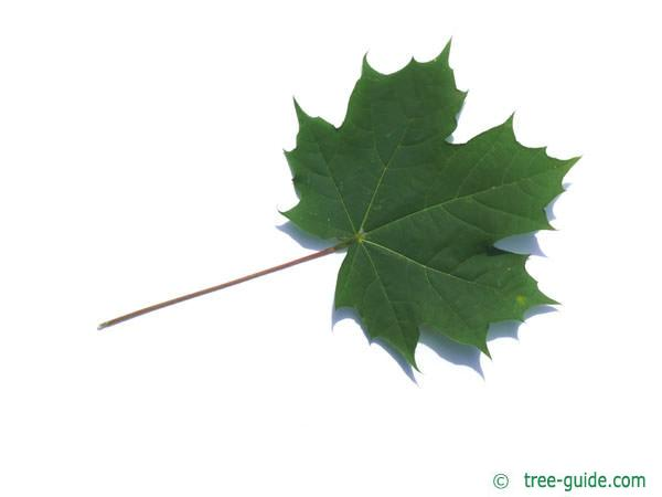 norway maple (Acer platanoides) leaf