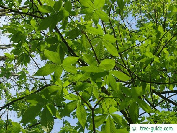 ohio buckeye (Aesculus glabra) leaves