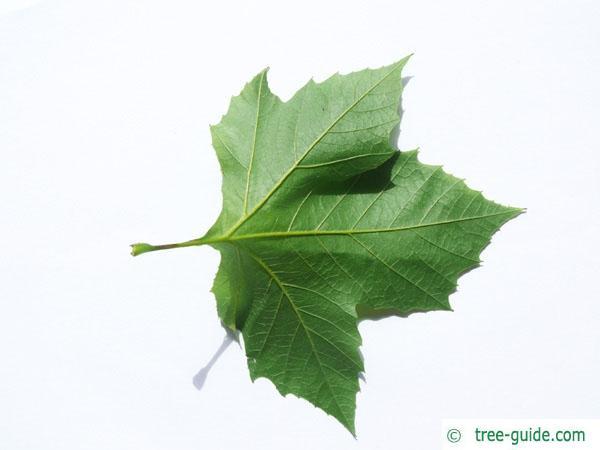 oriental plane tree (Platanus orientalis) leaf underside