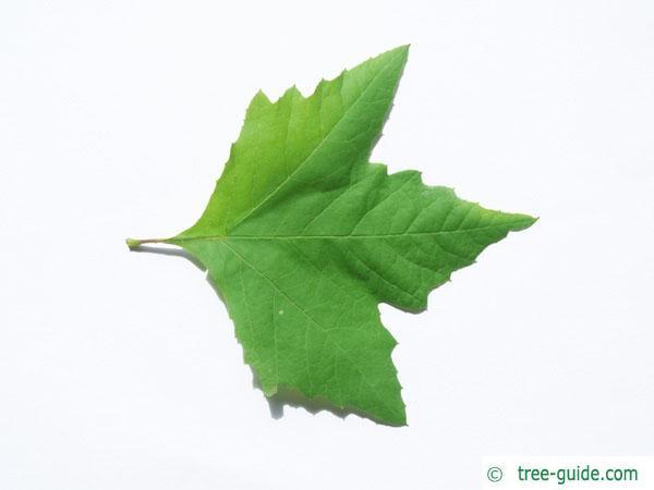 oriental plane tree (Platanus orientalis) leaf