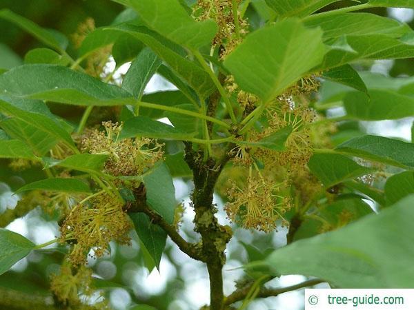 osage orange (Maclura pomifera) flower
