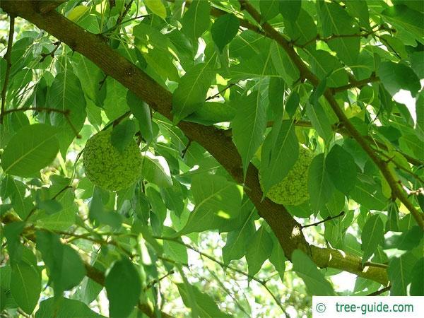 osage orange (Maclura pomifera) branch and fruits