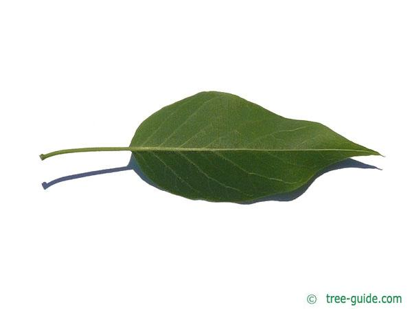 osage orange (Maclura pomifera) leaf underside