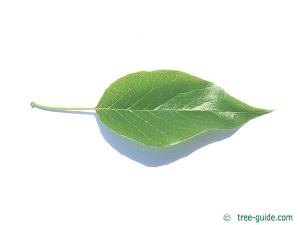 osage orange (Maclura pomifera) leaf