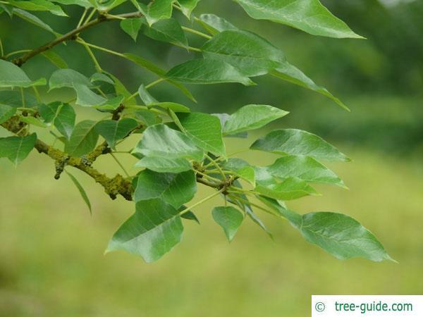 osage orange (Maclura pomifera) leaves