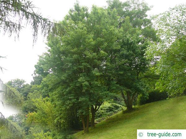 osage orange (Maclura pomifera) tree