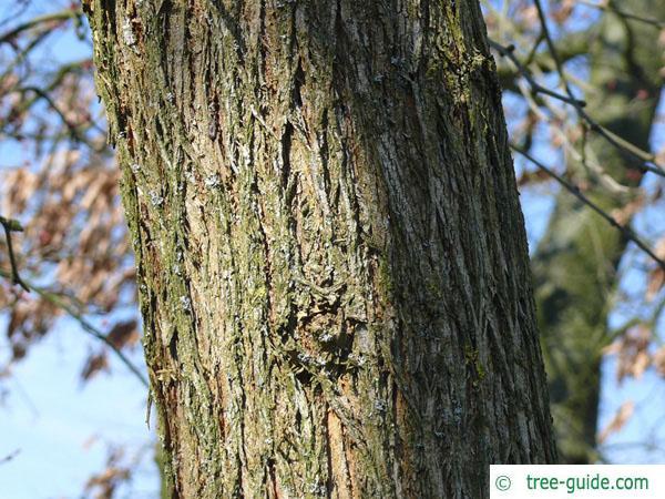 osage orange (Maclura pomifera) trunk / bark