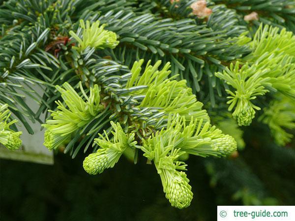 pacific silver fir (Abies amabilis) budding