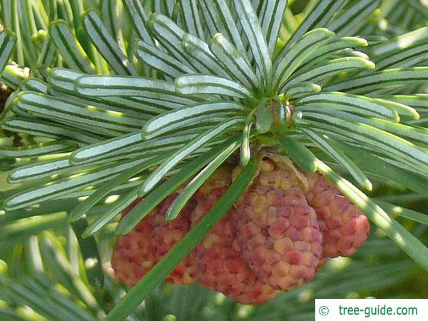 pacific silver fir (Abies amabilis) infructescenses