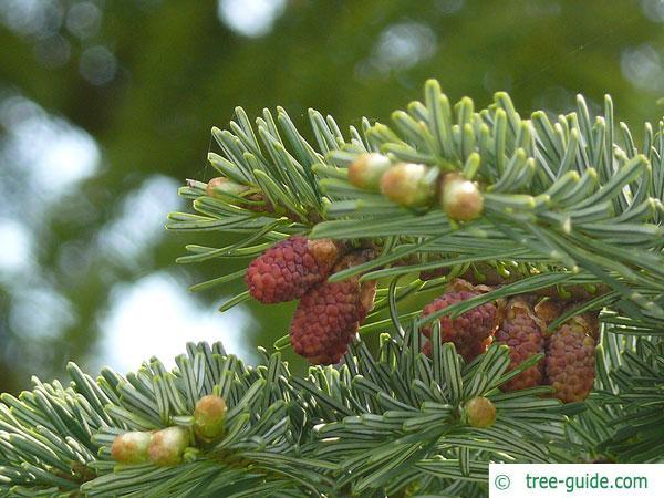 pacific silver fir (Abies amabilis) blossoms
