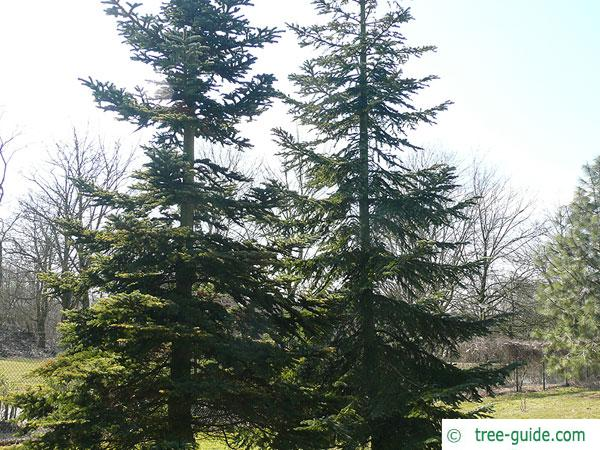 pacific silver fir (Abies amabilis) trees