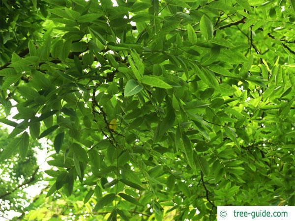 pagoda tree (Styphnolobium japonicum) leaves