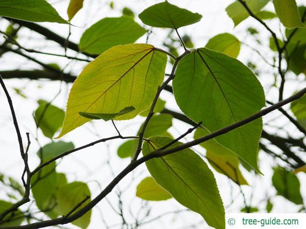 paper mulberry (Broussonetia papyrifera) foliage in autumn
