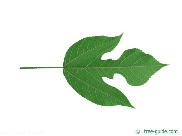 paper mulberry (Broussonetia papyrifera) leaf underside