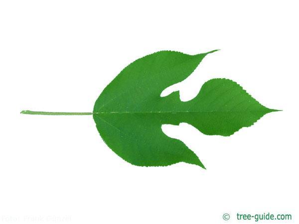 paper mulberry (Broussonetia papyrifera) leaf