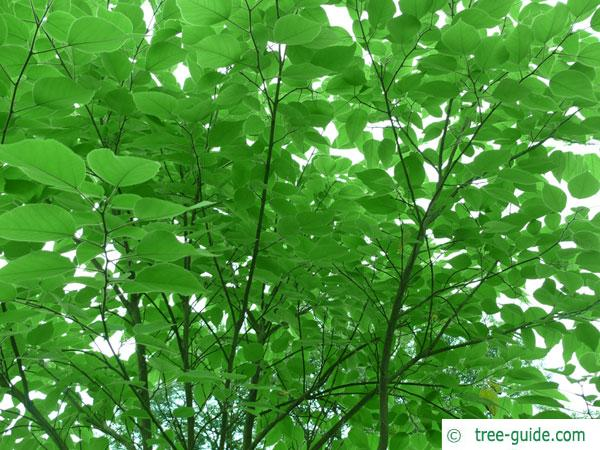 paper mulberry (Broussonetia papyrifera) leaves in summer