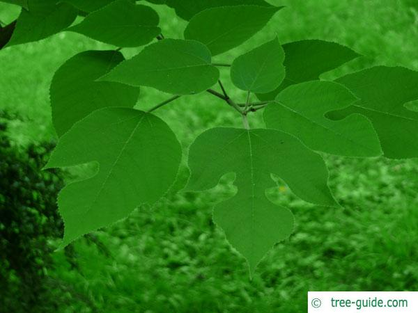 paper mulberry (Broussonetia papyrifera) branch and leaves