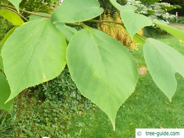 paper mulberry (Broussonetia papyrifera) egg-shaped leaves