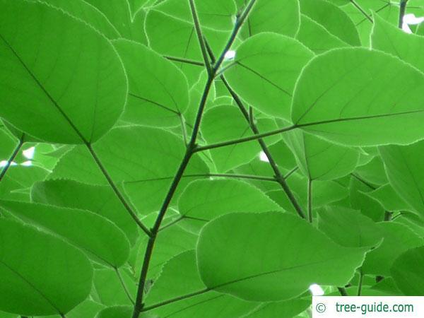 paper mulberry (Broussonetia papyrifera) leaves