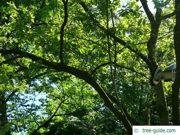 paperbark maple (Acer griseum) tree crown in summer
