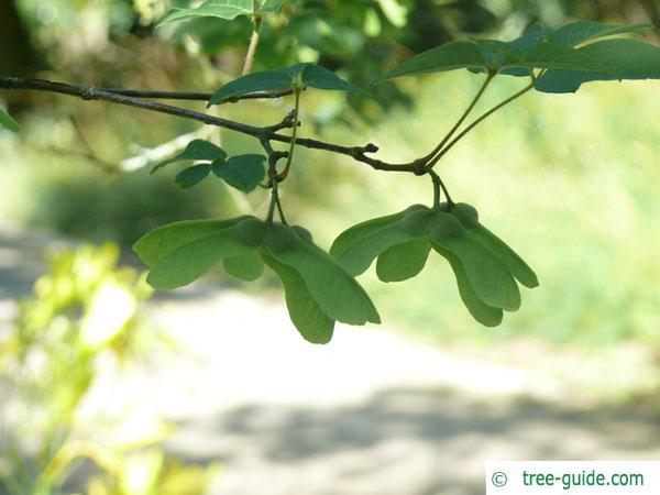 paperbark maple (Acer griseum) fruits