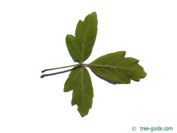 paperbark maple (Acer griseum) leaf underside