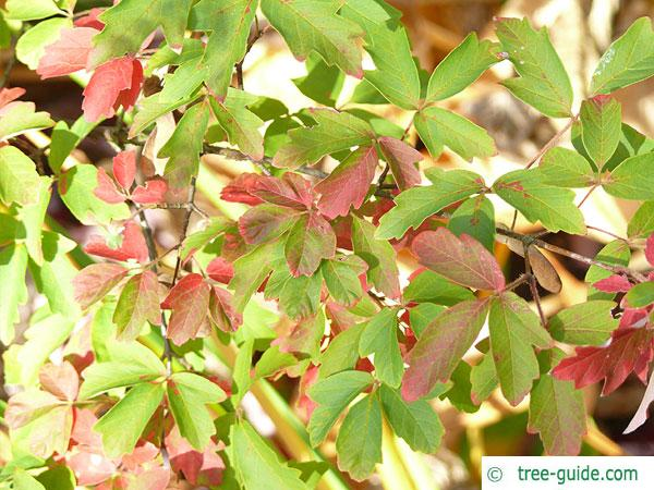 paperbark maple (Acer griseum) leaves in fall