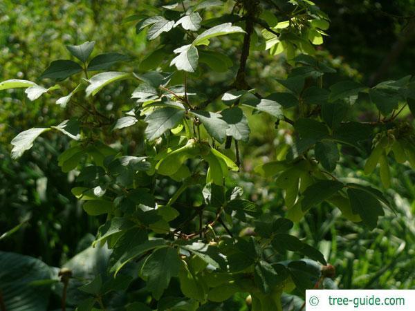 paperbark maple (Acer griseum) leaves