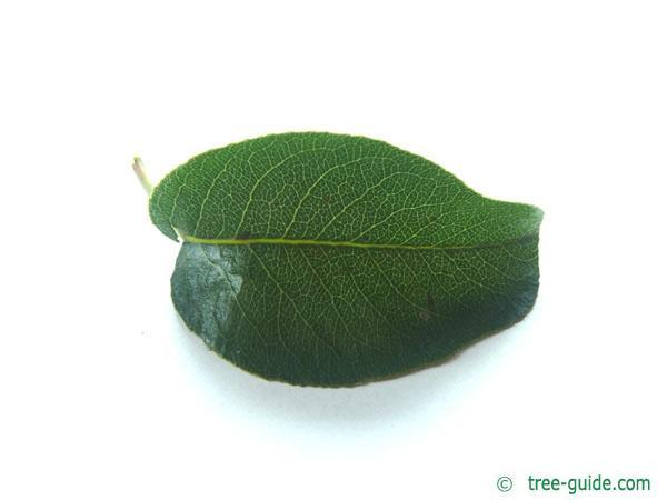pear (Pyrus communis) the pear leaf