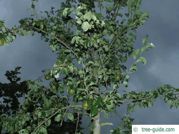 pear (Pyrus communis) pear tree