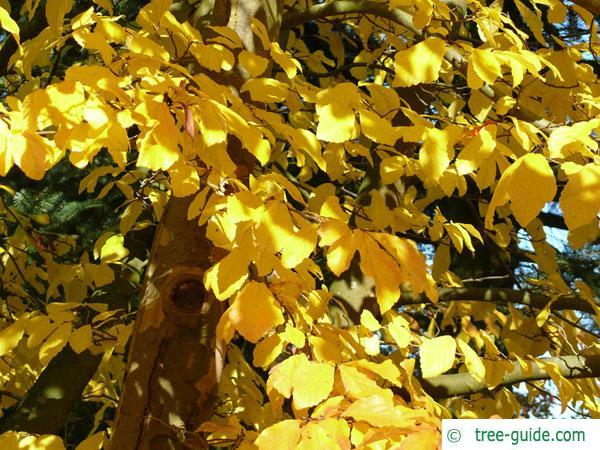 persian ironwood (Parrotia persica) treetop in autumn